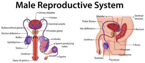 human sperm vectors   psd files