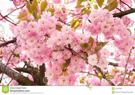 japanese trees with pink flowers prunus serrulata tree royalty free stock photos image 31437568