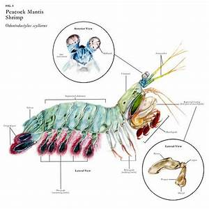 Anatomy Of A Peacock