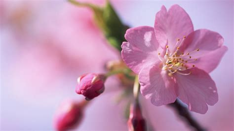hd hintergrundbilder bluetenblaetter knospen blueten rosa