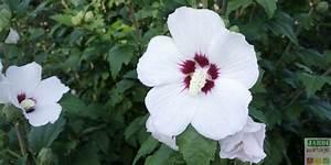 Taille De L Hibiscus : quand et comment tailler l alth a plut t jardin d ~ Melissatoandfro.com Idées de Décoration
