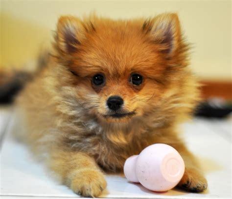 File Ee  Pomeranian Ee   Pup Jpg Wikimedia Commons