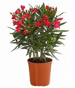 Oleander Winterhart Kaufen : oleander busch dehner ~ Eleganceandgraceweddings.com Haus und Dekorationen