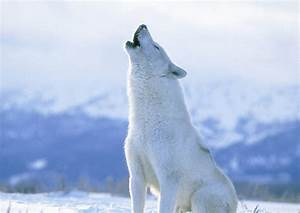 arctic Wolf Pictures on Animal Picture Society