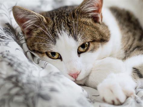 american shorthair cat grey  white cat  dog lovers