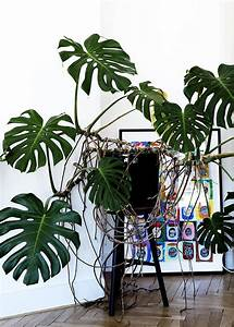 Grünpflanzen Für Innen : monstera deliciosa botanical and outdoor inspiration ~ Eleganceandgraceweddings.com Haus und Dekorationen