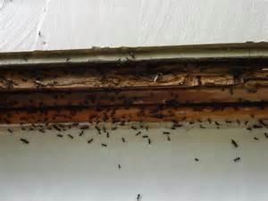 carpenter ants and termites carpentry contractor talk