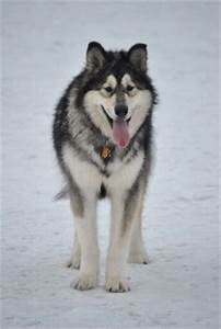 Alaskan Malamute vs. Grey wolf | Giant Malamute ...