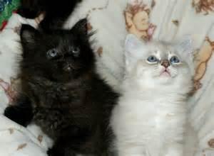 siberian cat breeders cherished siberians siberian cat breeder from culpeper