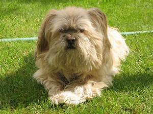 File Lhasa apso rolly