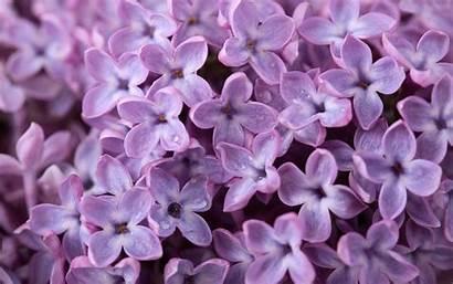 Lilac Wallpapers Purple Flowers Desktop Wallpapersafari Floral