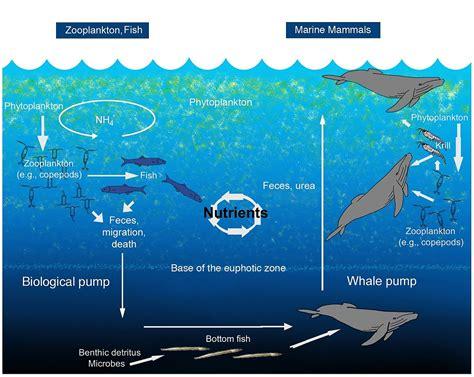 Biogeochemical Cycle Wikipedia