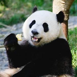 Images Of Panda Bears   www.imgkid.com - The Image Kid Has It!