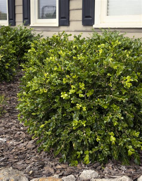 Unraveled Weeping Boxwood Monrovia Unraveled Weeping