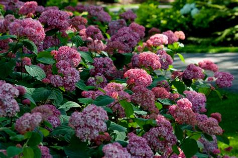 flowering shrubs for shade hydrangea arborescens invincibelle spirit carolyn s shade gardens