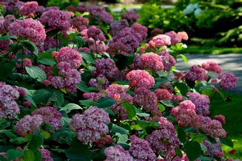 hydrangeas for shade hydrangea arborescens invincibelle spirit carolyn s shade gardens