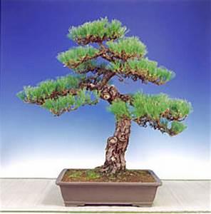 Kiefer Formschnitt Anleitung : kiefer bonsai pflanzen f r nassen boden ~ Eleganceandgraceweddings.com Haus und Dekorationen
