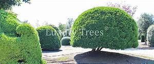 Hohe Sichtschutz Pflanzen : sichtschutz aus pflanzen f r garten terrasse luxurytrees ~ Sanjose-hotels-ca.com Haus und Dekorationen