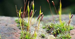 Moss Plants And More  Identifying Mosses With Only A Photo