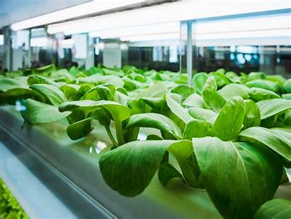 Hydroponic Vegetables Growing Organic Gardening Health