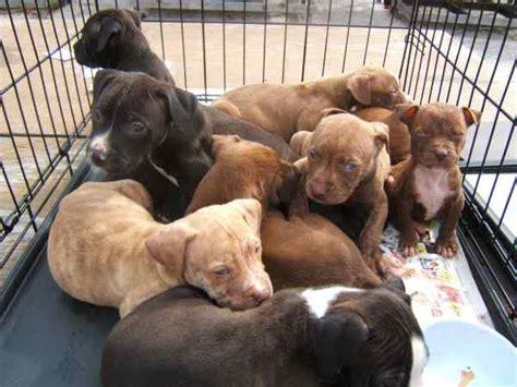beautiful pitbull puppies  sale  kingston kingston st