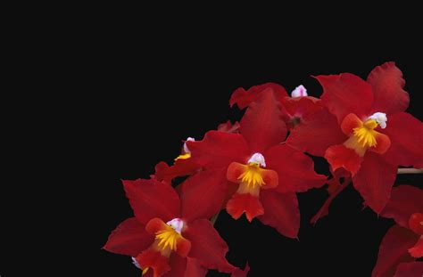 wallpaper black background red thread cattleya