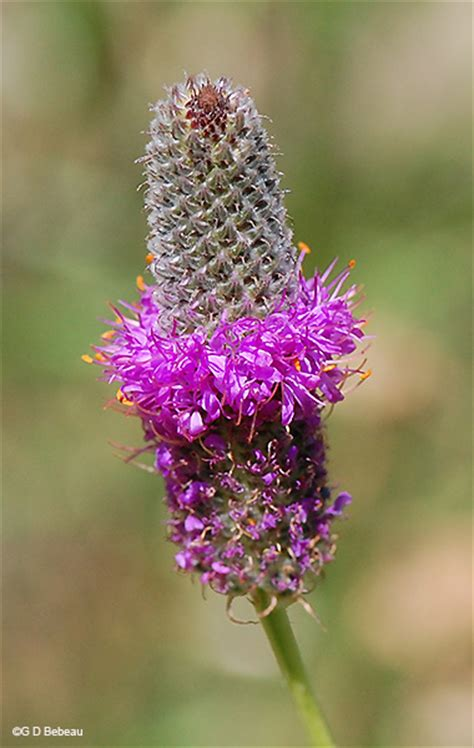purple prairie clover dalea purpurea vent var purpurea