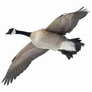 Canada Goose Indoor Wall Graphic, Flying Overhead - 228915