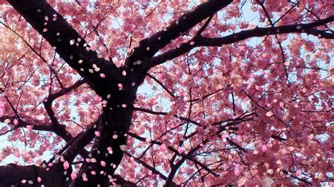 Cherry Blossom (video Background)