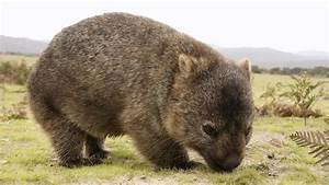 Today is Wombat Day | The Late Bay