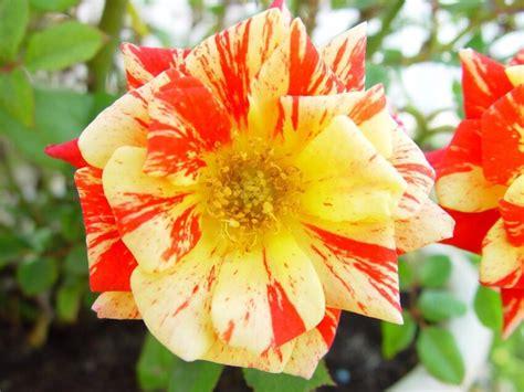 รูปภาพฟรี: ดอกทอง สีแดง