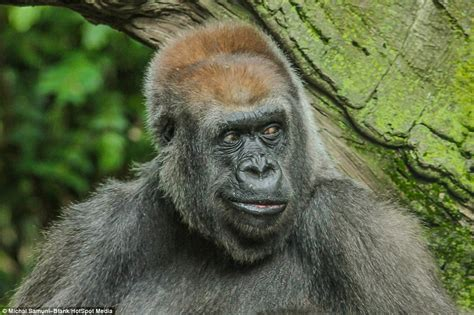 Gorilla at the Bronx Zoo pulls funny faces and sticks it's ...