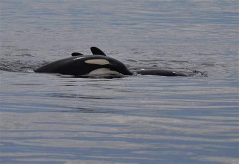 Adopt An Orca Whale