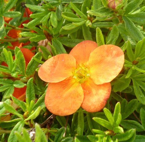 Potentilla fruticosa Red Ace - botanicaplantnursery.co.uk