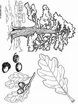 Coloring Tree Oak Pages Printable Trees Recommended Mycoloring sketch template
