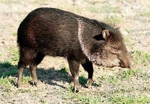 Peccary | mammal | Britannica.com