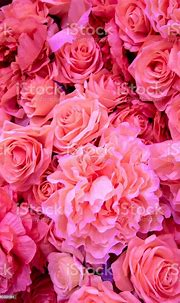 Soft Coral Pink Color Roses Background Stock Photo ...