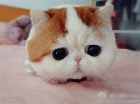 world s cutest cat is china s snoopybabe the world s cutest cat pets