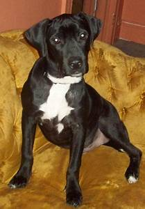Missing Black Boxer/Pit Mix puppy MACK & HOLCOMB ...