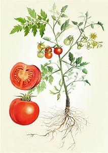 Tomato Plant Illustration - Adam Dal Pozzo × Creative ...