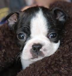 Baby Boston Terrier Puppies