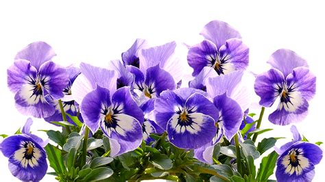 spring pansy mothers day  image  pixabay