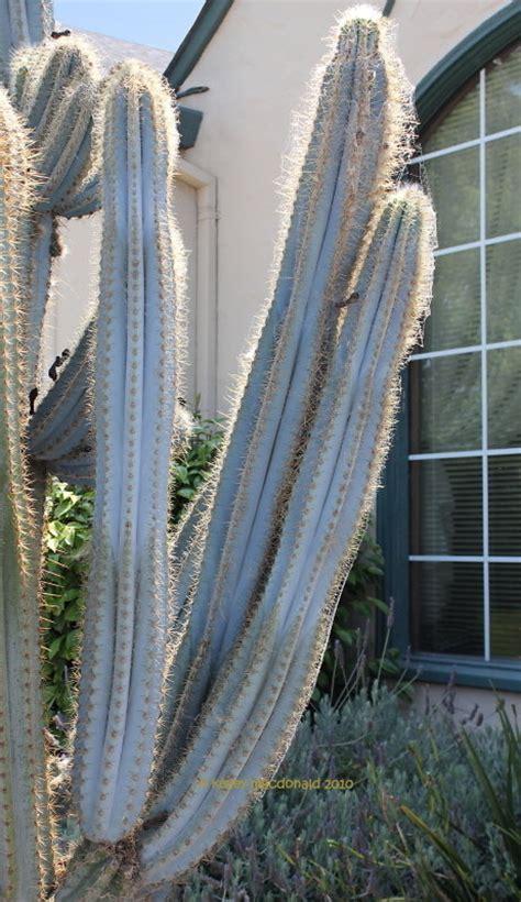 plantfiles pictures blue columnar cactus facheiro