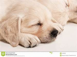 Puppies Golden Retriever Royalty Free Stock Images - Image ...