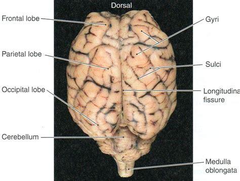 sheep brain anatomy diagram diagram sheep brain blank diagram to label