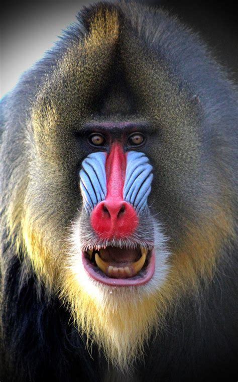 mandrill wallpapers high quality