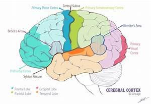 Primary Motor Cortex Definition
