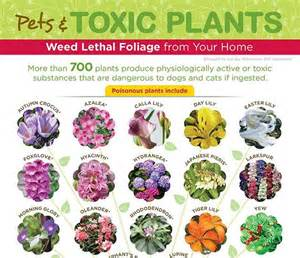 what plants are poisonous to cats toxic plants and pets infographic