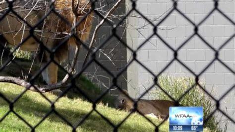 lion kills lioness  zoo  families   horror