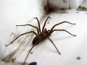 Wee beasties #57 – Giant house spider